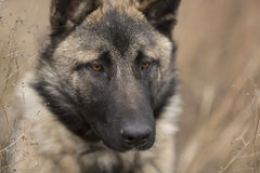 德国牧羊犬特写镜头 免版税库存照片
