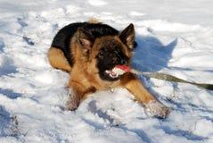 德国牧羊犬狗使用与橡胶宠物玩具,在冬天多雪的领域的球 九个月年龄 库存照片