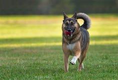德国牧羊犬狗使用 库存图片