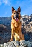 德国牧羊犬狗到与钳子的山里 免版税图库摄影