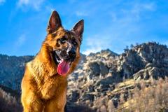 德国牧羊犬狗到与钳子的山里 免版税库存图片