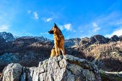 德国牧羊犬狗到山里 免版税库存图片