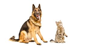 德国牧羊犬狗和好奇猫苏格兰平直 图库摄影