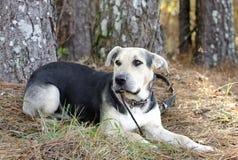 德国牧羊犬狗和汉语Shar裴混合了品种狗 免版税库存照片