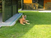 德国牧羊犬狗在草 免版税库存图片