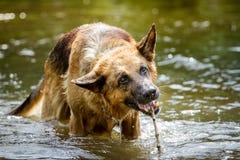德国牧羊犬狗在水中 库存照片