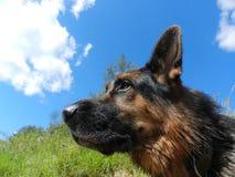 德国牧羊犬狗在晴天 免版税图库摄影