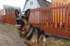 德国牧羊犬狗在晴天 库存照片