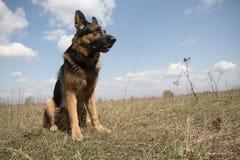 德国牧羊犬狗在晴天 免版税库存图片
