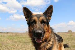 德国牧羊犬狗在晴天 库存图片