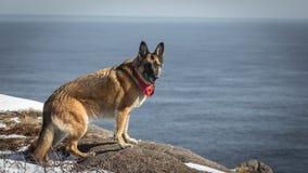德国牧羊犬狗坐岩石纽芬兰与拉布拉多c 库存图片