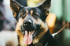 德国牧羊犬狗室内画象 免版税库存照片
