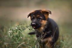 德国牧羊犬狗小狗在秋天公园 库存照片