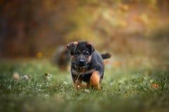 德国牧羊犬狗小狗在秋天公园 免版税图库摄影