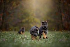 德国牧羊犬狗小狗在秋天公园 免版税库存图片