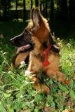 德国牧羊犬狗小辈小狗在森林里的七个月 库存照片
