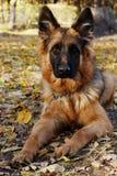 德国牧羊犬狗小辈小狗在autmn森林里的七个月 免版税库存图片