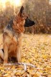 德国牧羊犬狗小辈小狗在autmn森林里的七个月 库存照片
