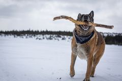 德国牧羊犬狗戏剧用在积雪的湖旁边的棍子 图库摄影