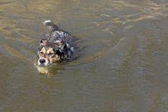 德国牧羊犬狗游泳在湖 库存照片