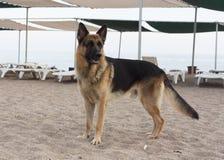 德国牧羊犬狗照片 免版税库存照片