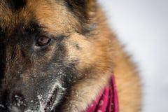德国牧羊犬狗特写镜头在雪的 图库摄影
