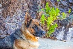 德国牧羊犬狗画象在一个晴天 免版税库存照片