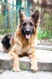 德国牧羊犬狗画象  狗头照片  免版税图库摄影