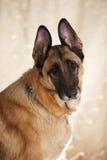 德国牧羊犬狗纵向 免版税库存图片