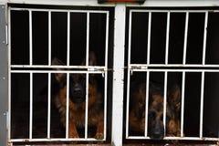 德国牧羊犬狗 两条狗在拖车的一只笼子被锁  免版税库存照片