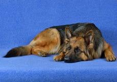 德国牧羊犬狗! 免版税图库摄影