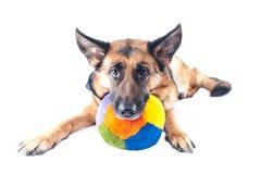 德国牧羊犬狗 免版税图库摄影