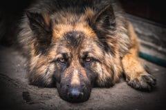德国牧羊犬狗 库存图片