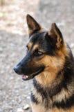 德国牧羊犬狗 图库摄影