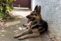 德国牧羊犬狗 库存照片