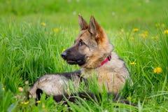 德国牧羊犬狩猎 年龄1年 库存照片