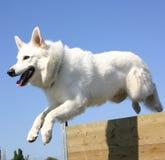 德国牧羊犬白色 免版税库存图片