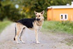 德国牧羊犬站立混合的狗户外 免版税库存照片