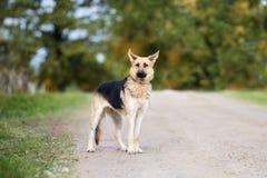 德国牧羊犬站立混合的狗户外 图库摄影