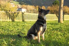 德国牧羊犬等待的定货 库存图片