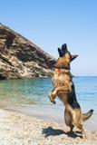 德国牧羊犬跳 免版税库存图片