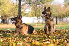 德国牧羊犬阿尔萨斯警犬 图库摄影