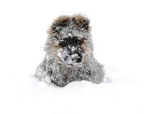 德国牧羊犬雪 库存图片