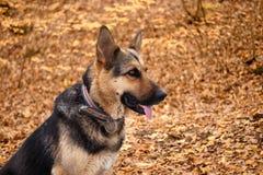 德国牧羊犬,年轻德国牧羊犬,草的德国牧羊犬,狗在公园 免版税图库摄影