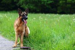 德国牧羊犬年轻人 免版税库存照片