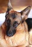 德国牧羊犬年轻人 免版税库存图片