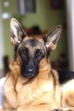 德国牧羊犬年轻人 库存照片