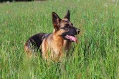德国牧羊犬年轻人 库存图片
