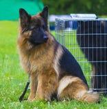 德国牧羊犬 在一个好春日尾随德国牧羊犬 库存图片
