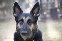德国牧羊犬头射击 免版税库存照片